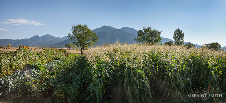 Cornfield, Sunflowers, Taos Mountain