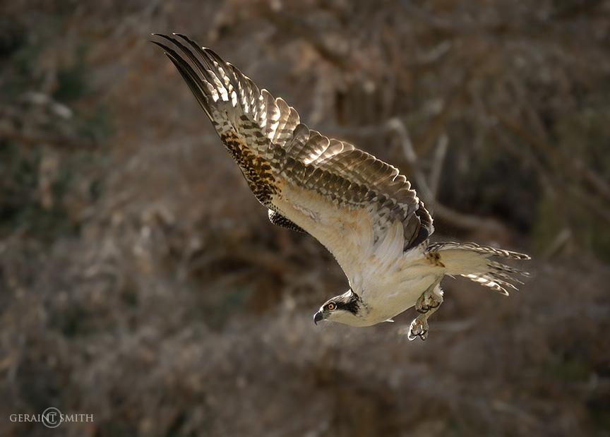Osprey, Rio Costilla Park, NM
