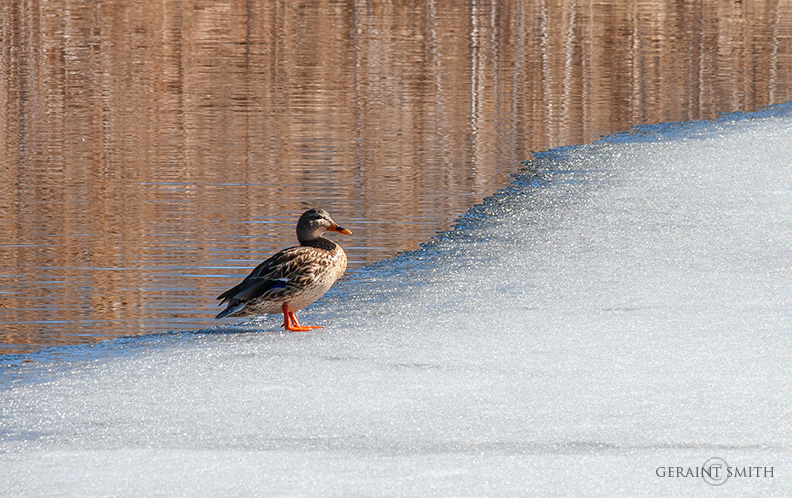 Mallard Duck On Ice