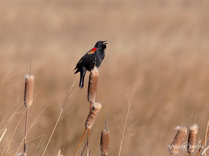 Red-Winged Blackbird On The Cattails