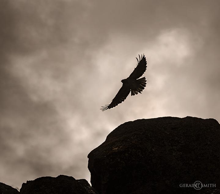 Red-tailed Hawk, Rio Grande Gorge