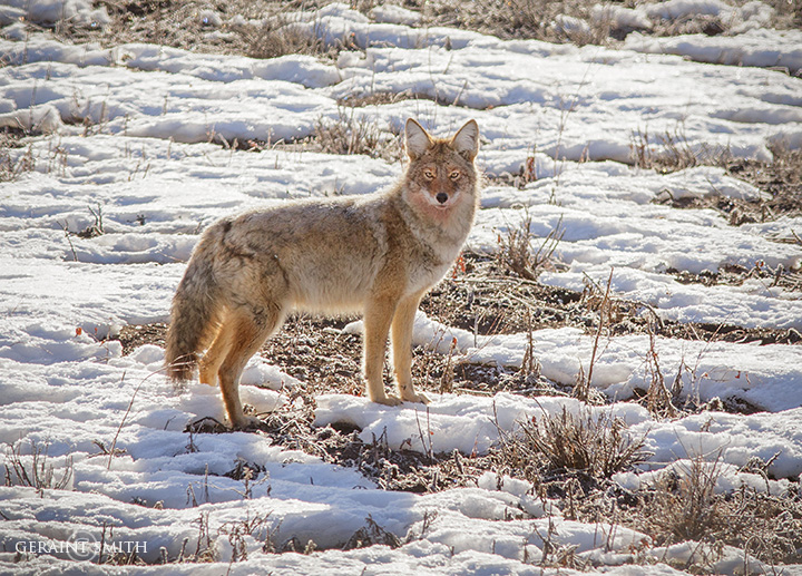 Coyote Winter Morning