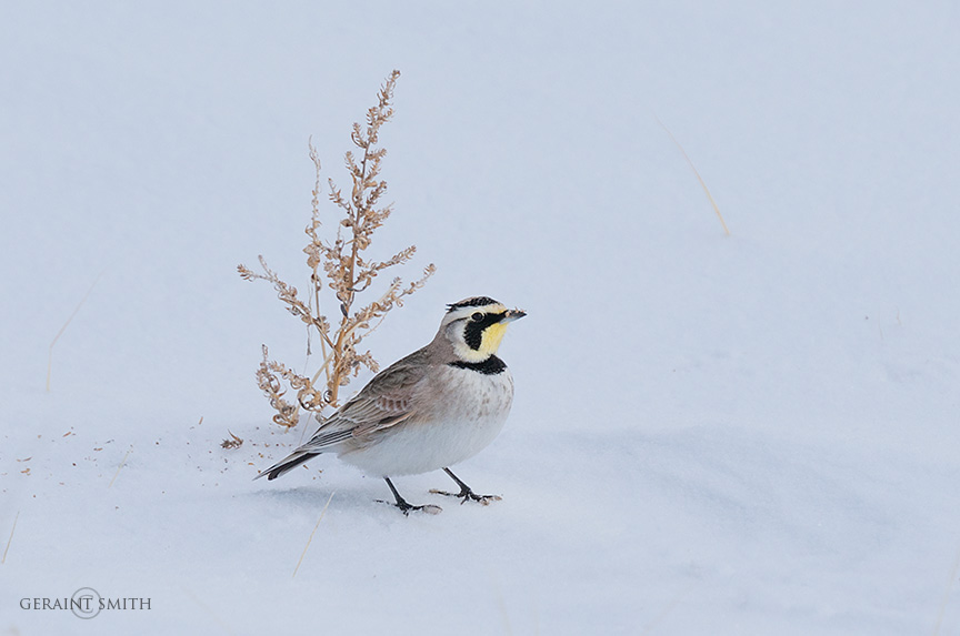 Horned Lark, San Luis Valley