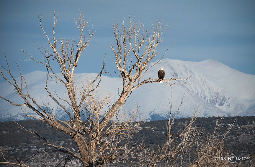 Bald Eagle, Sangre De Cristo Mountain Snows