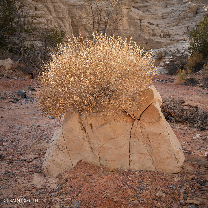 Rock Bush, Plaza Blanca, New Mexico