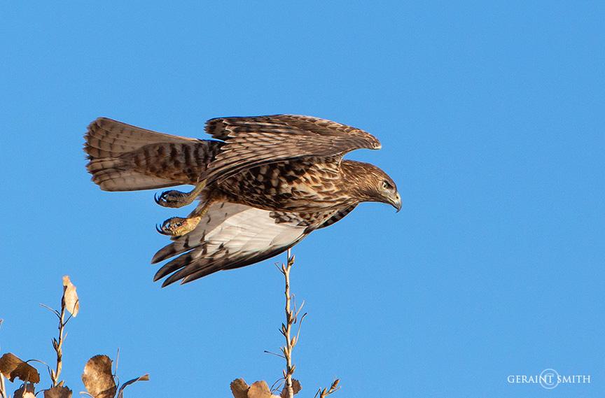 Western Red-Tailed Hawk, Bosque Del Apache