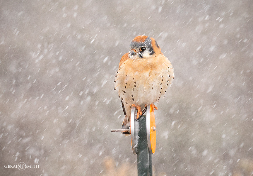 American Kestrel, Highway Hunting