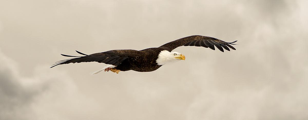 Bald eagle Pilar New Mexico