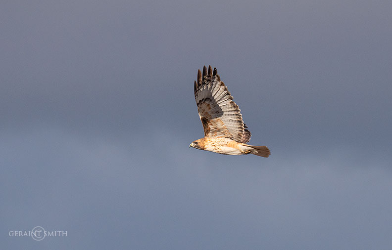 Red-Tailed Hawk Aloft