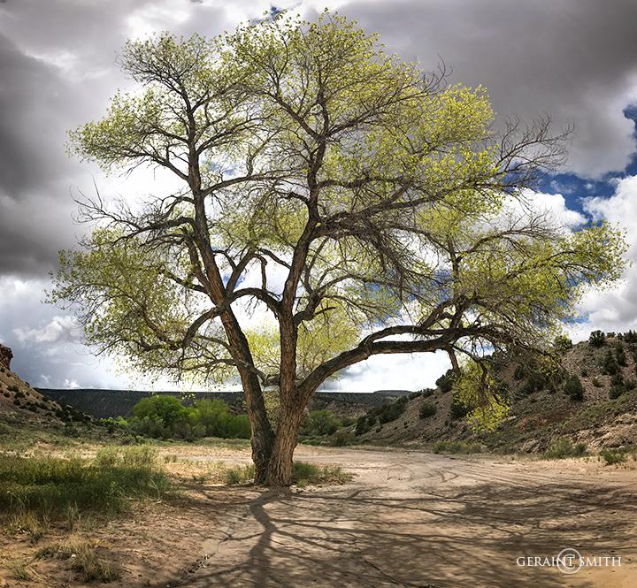 Cottonwood Tree, Abiquiu, NM
