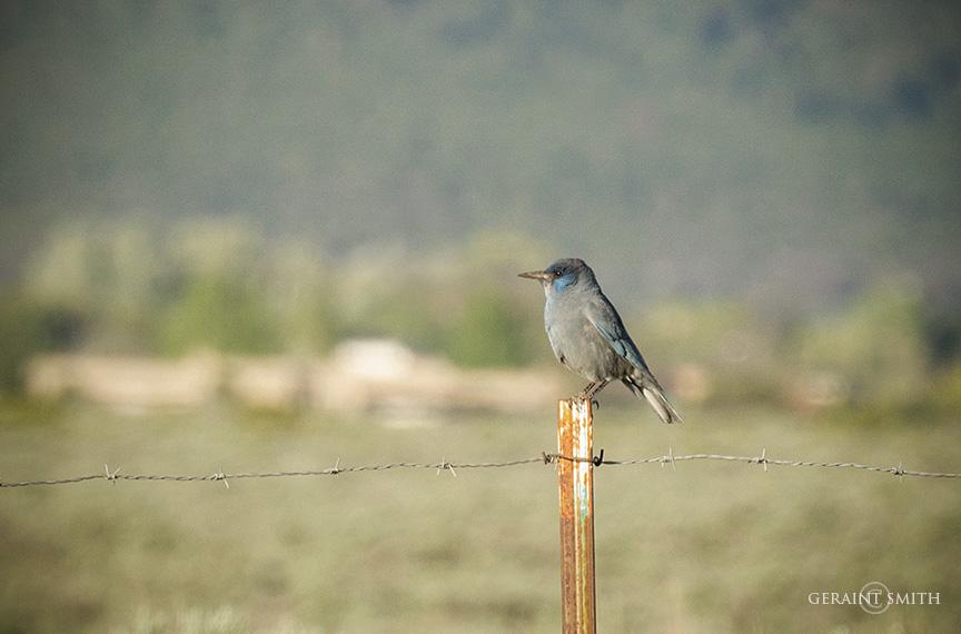 Pinyon Jay, Arroyo Hondo, NM