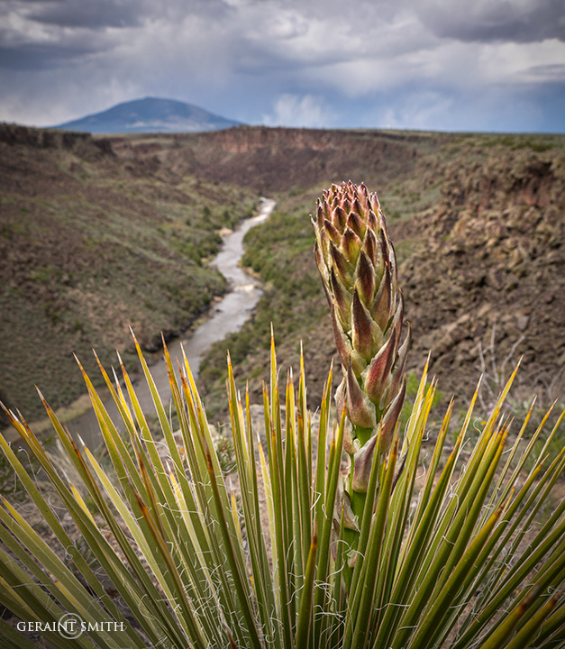 Yucca bloom, on the Rio Grande Gorge Rim at the Wild Rivers Recreation Area.