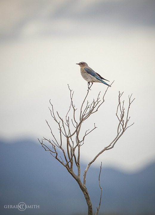 Mountain Bluebird, Mesita, Colorado