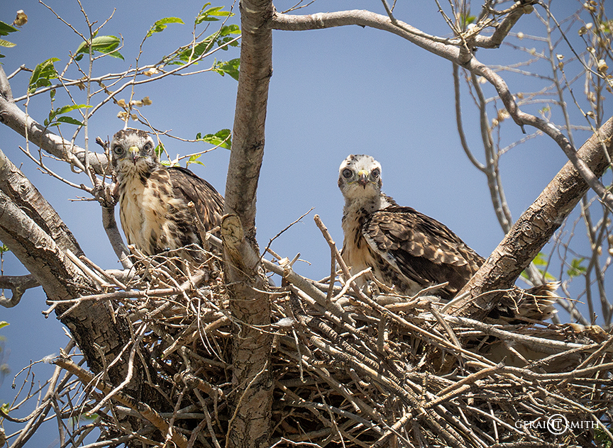 Chicks, Juvenile Red-Tailed Hawk Nest