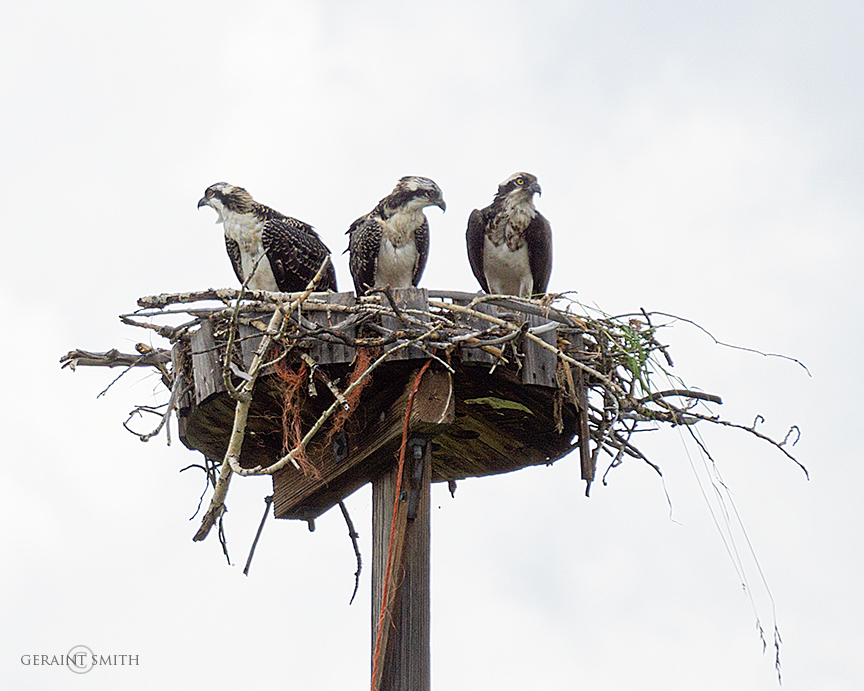 Osprey family in the Chama Valley