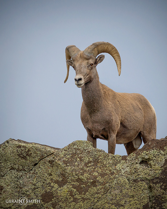 Bighorn Ram, A Young One