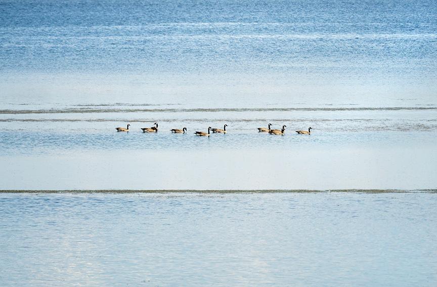 Canada Geese, Lake 13, Maxwell NWR