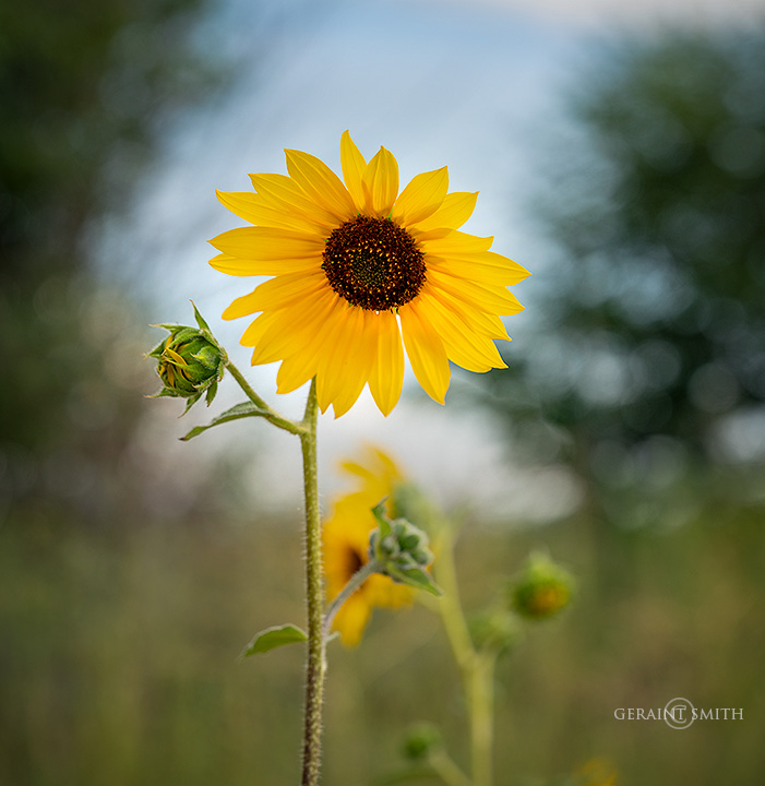 Sunflowers Galore In The San Luis Valley