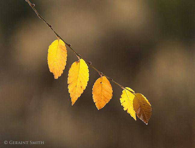 elm leaves basking in the Sunlight san cristobal