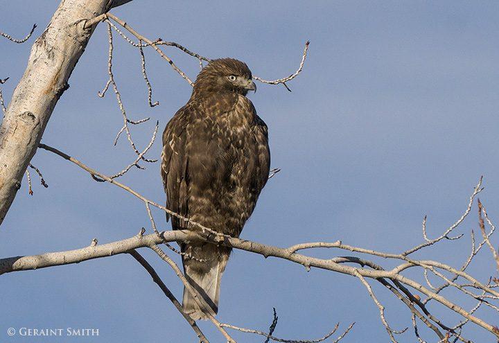 immature dark-morph red-tailed hawk arroyo hondo