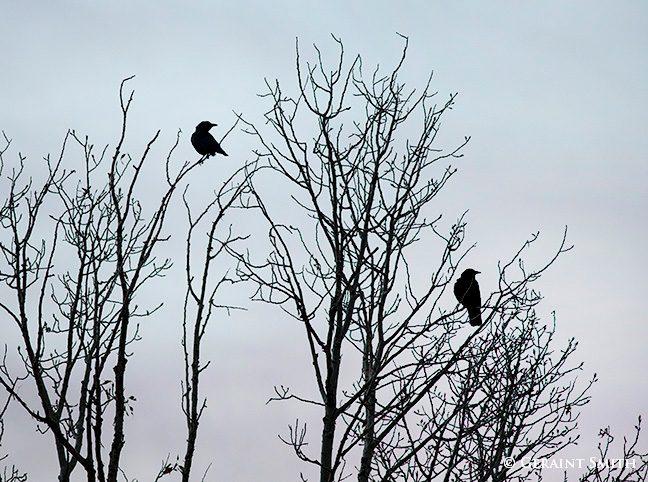 american crows cottonwood tree
