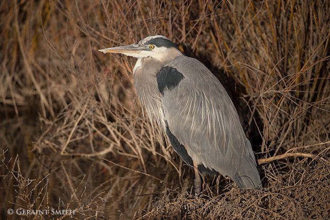 great_blue_heron_bosque_del_apache_2581-1537874