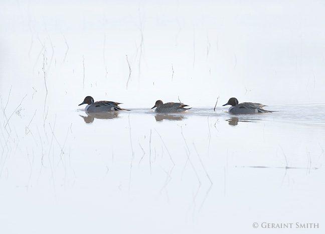 Northern pintail ducks in the Bosque del Apache, Socorro, NM