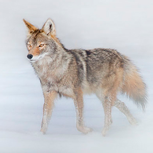 Archive index 2013 photo of the day archive coyote in the snow arroyo seo new mexico