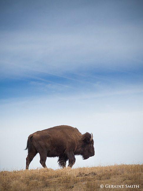 bison_philmont_ranch_7246-1879982