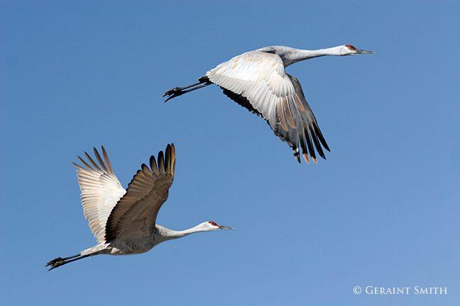 Sandhill Cranes at the Monte Vista NWR, Colorado.