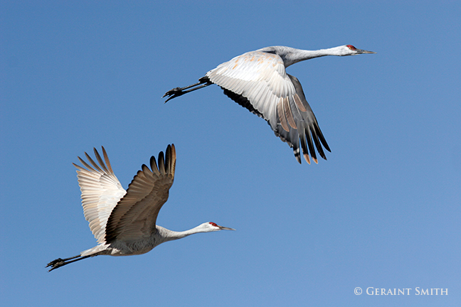 Sandhill Cranes at the Monte Vista NWR, Colorado.