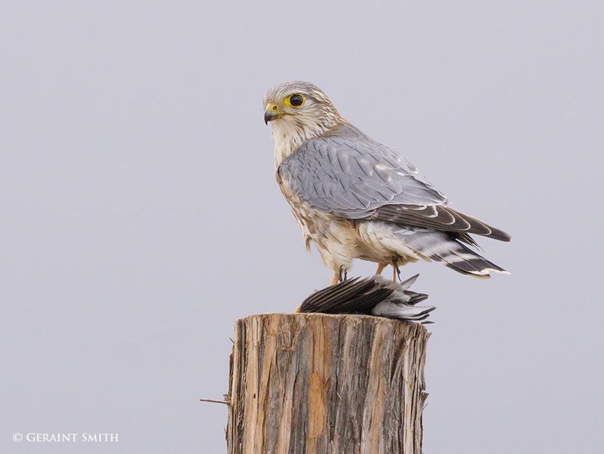 Merlin, Prairie or Richardson's Merlin, Falcon