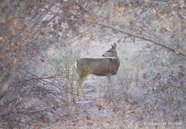 mule deer bosque del apache
