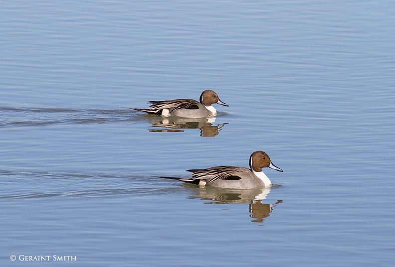 northern_pintail_ducks_bosque_del_apache_1142-8836400