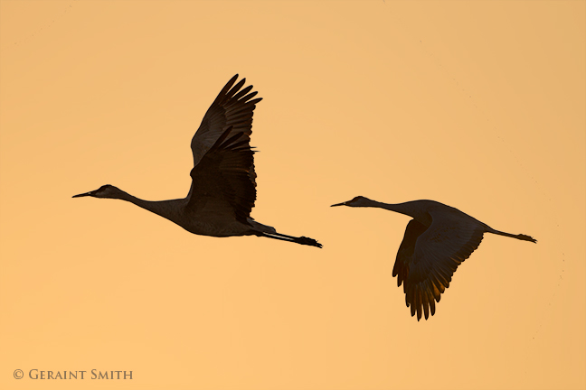 Sandhill cranes in the monte vista national wildlife refuge, colorado