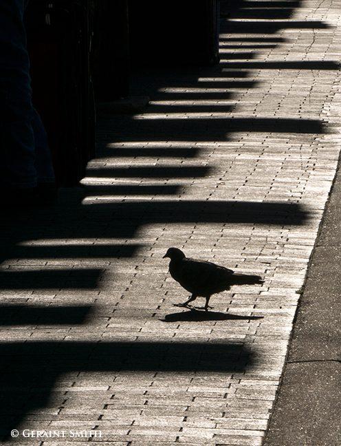 pigeon_shadows_1342-4915702
