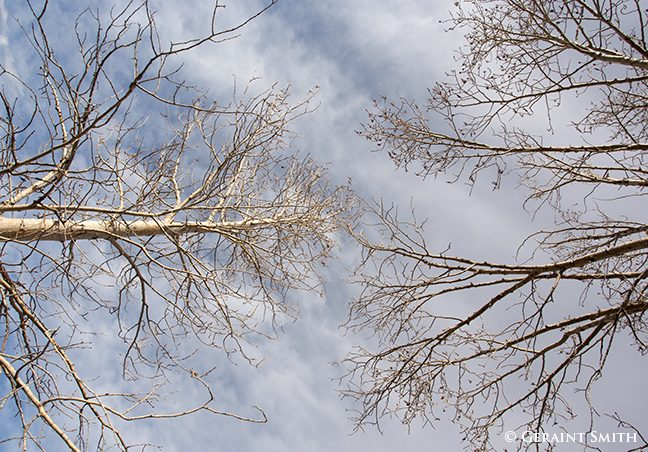 looking up in the cottonwood trees san cristobal new mexico