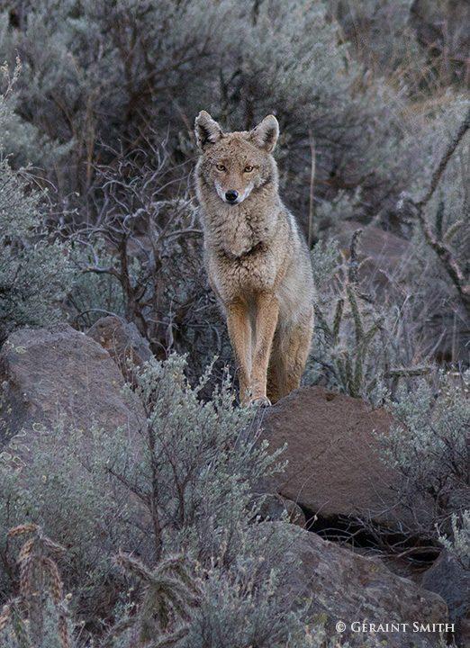 coyote_orilla_verde_nra_1633-8618265