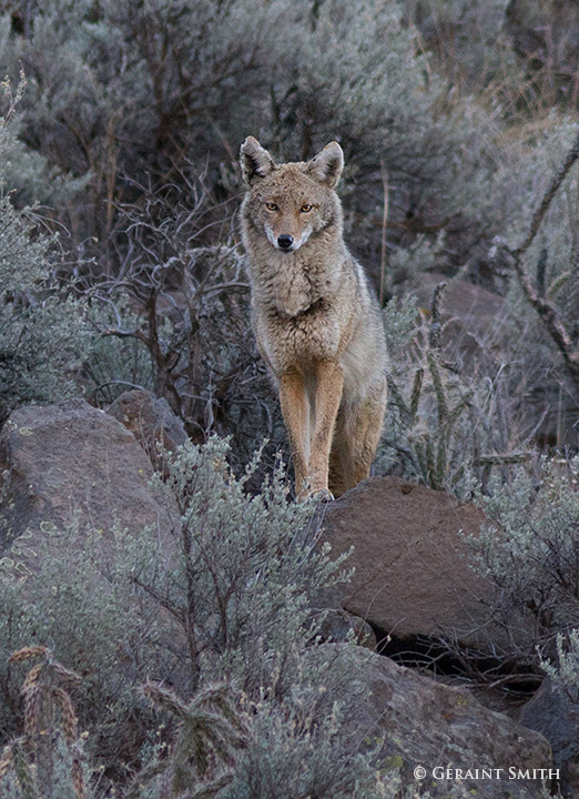 coyote morning in the orilla verde recreation area taos NM