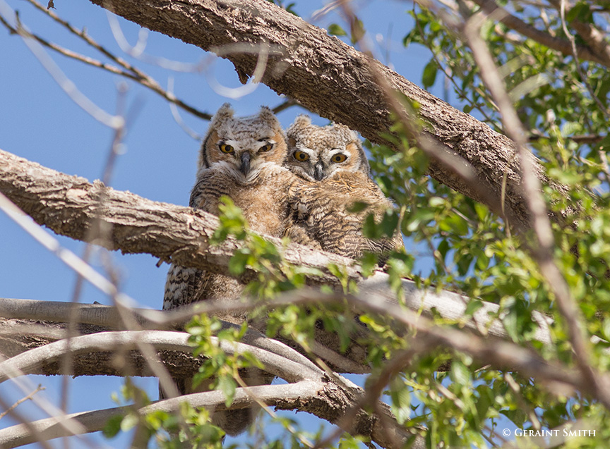 Great Horned Owl fledgelings