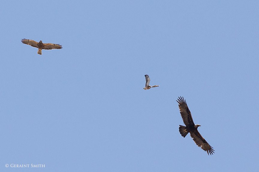 swainsons_hawks_golden_eagle_4345-1-3663863