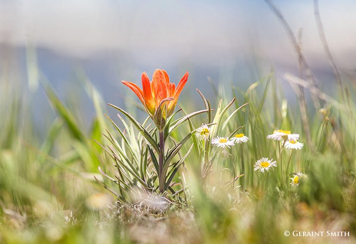 indian_paintbrush_valle_vidal_5604-6904870