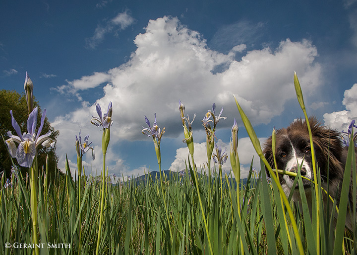 wild iris big dog