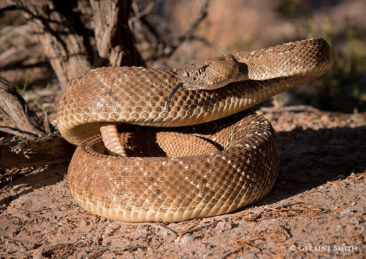 rattlesnake_coiled_7003-6474221
