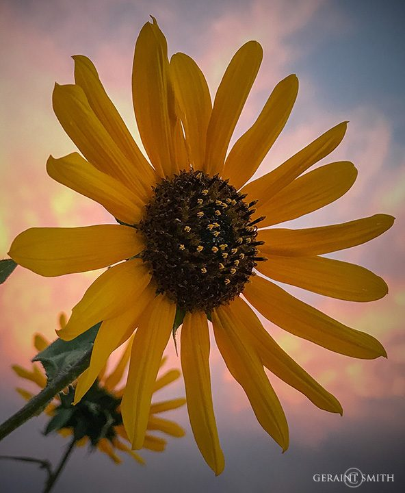 sunflower_shower-5913758