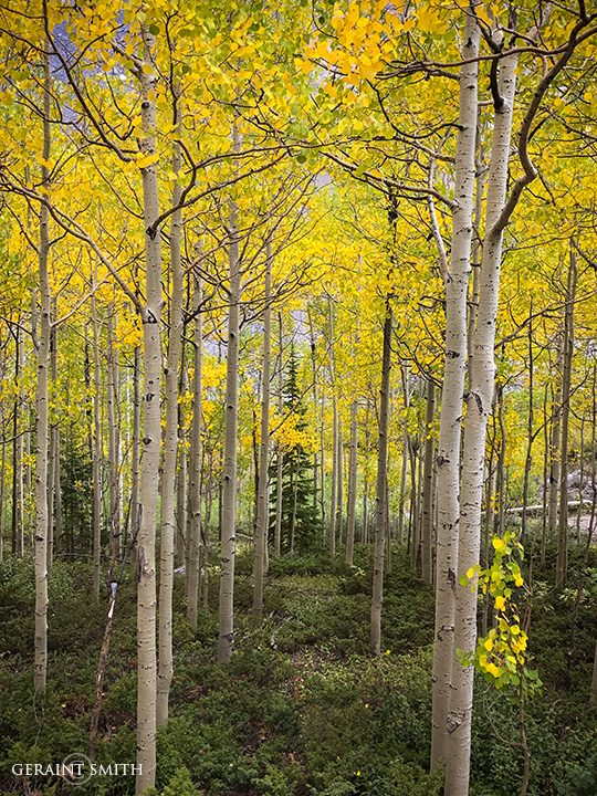 Golden Aspens Monarch Pass, Colorado