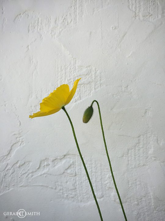 yellow_poppy_1464-3134121