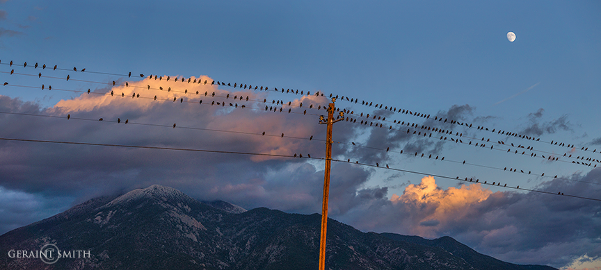 starlings and sunset moon