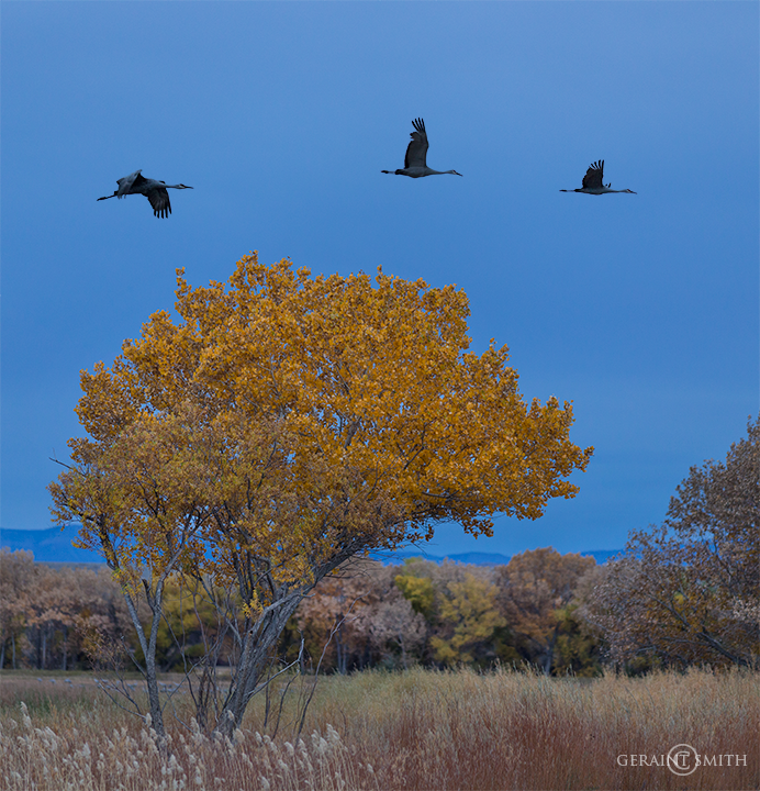 Cottonwood tree and Sandhill Cranes