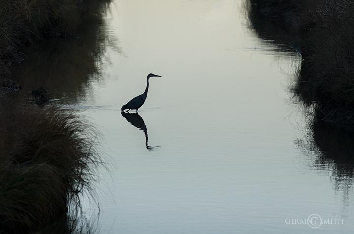 Great Blue Heron silhouette, Bosque del Apache